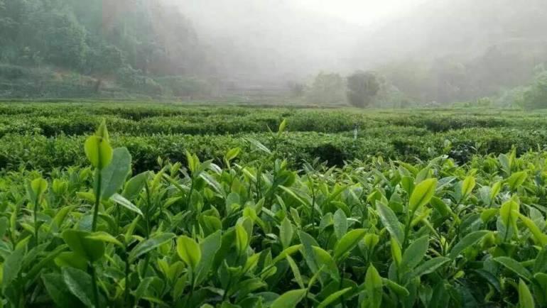 (中文) 如何识别新茶和陈茶